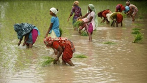 Farmers plant rice saplings in a field in Shamli, Uttar Pradesh July 19, 2014. REUTERS/Anindito Mukherjee/Files