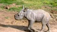 Rhino birth adds to beleaguered world numbers