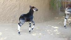 San Diego Zoo welcomes newborn okapi calf