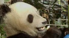 Precious San Diego Zoo panda cub turns two