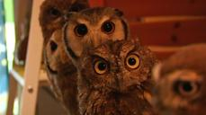 Bird fans flock to Japan Owl Cafe