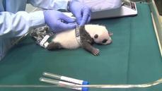 Triplet pandas celebrate a milestone