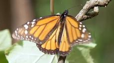 New organic fertilizer helps reforestation of Monarch Butterflies' winter retreat