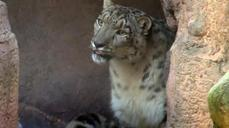 Snow leopard arrives at Mexico zoo