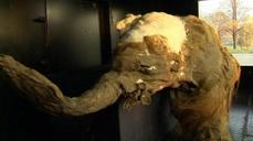 Ancient baby mammoth on display in Moscow