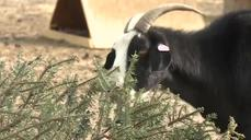 Nevada farmer uses goats to 'recycle' Christmas trees