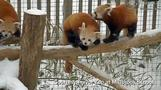 Red pandas frolic in the snow