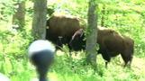 """Escaped buffalo have """"field day"""" in Arizona"""