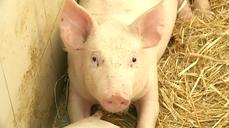 Polish pigs prefer Mozart to metal