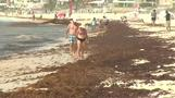 Mexican beaches inundated with algae