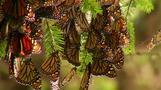 Monarch butterflies hit Mexico