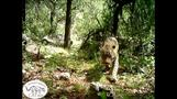 New video captures only known wild jaguar in the U.S.