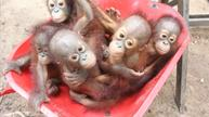 Baby orangutans learn how to live in the wild