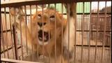Circus lions rescued in Latin America