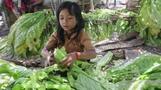 HRW exposes child tobacco labor in Indonesia