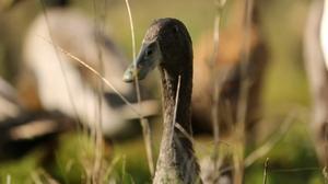 'Quack squad' hunts S African vine pests