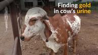 Do some cows in India urinate gold?