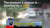Dramatic video shows tiger attacking woman in Beijing wildlife park (graphic images)