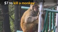 Himachal Pradesh asks people to kill monkeys for cash
