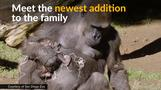 Baby gorilla born from endangered species