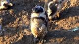 African penguins threatened by climate change and over-fishing