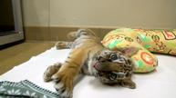 Endangered tiger cub gets playmate in San Diego