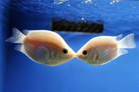 A pair of Kissing Gourami fish kiss at the Shanghai Ocean Aquarium on Valentine's Day in Shanghai February 14, 2007. REUTERS/Nir Elias