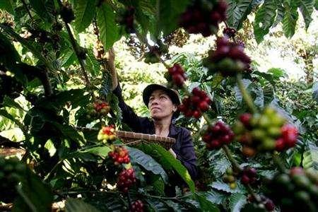 A woman collects coffee beans at her coffee garden outside Vietnam's Central highland Buon Ma Thuot city October 24, 2006. Global warming poses a threat to future world coffee crops with rising temperatures and drought likely to force some producers to seek higher and cooler land, according to a report issued by analyst F.O. Licht. REUTERS/Kham