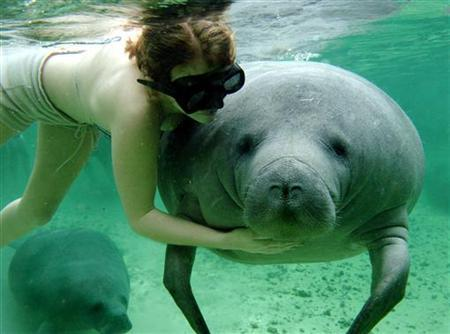 A woman pets an endangered manatee while swimming in the Crystal River in Homosassa, Florida, February 9, 2005. Florida manatees are dying in record numbers and the lumbering marine mammals face growing threats from speedboats, a toxic foe called red tide and the potential loss of their warm winter havens at power plants. REUTERS/Marc Serota