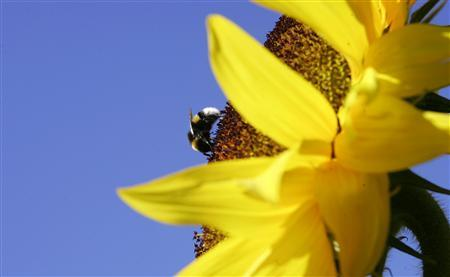 A bumblebee collects pollen on a sunflower near Munich in this July 17, 2006 file photo. Britain's bumblebee population is under threat in a crisis that could wipe out entire species and have a devastating knock-on effect on agriculture, scientists say. REUTERS/Michaela Rehle