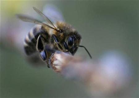 A honey bee in a file photo. Taiwan's bee farmers are feeling the sting of lost business and possible crop danger after millions of the honey-making, plant-pollinating insects vanished during volatile weather, media and experts said on Thursday. REUTERS/Michaela Rehle