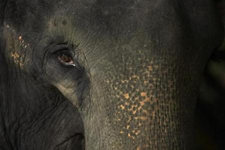 Nandong, a 22-year-old female Asian elephant, looks at visitors at the Night Safari in Singapore in this April 11, 2007 file photo. International wildlife experts have located hundreds of wild elephants on a treeless island in the swamps of south Sudan, where they apparently avoided unchecked hunting during more than 20 years of war. REUTERS/Tim Chong