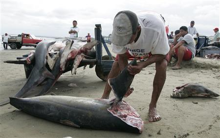 A fisherman removes the fins of a shark at a beach in Manta, Ecuador, January 6, 2007. Shark cartilage, once a hopeful-seeming new approach in cancer treatment, failed to help lung cancer patients live any longer, researchers said on Saturday. REUTERS/Guillermo Granja (ECUADOR)
