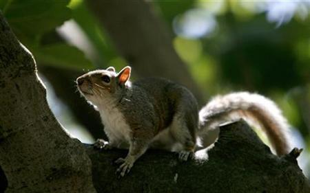 A squirrel is seen in St. James Park in London in this May 2, 2007 file photo. An aggressive squirrel attacked and injured three people in a German town before a 72-year-old pensioner dispatched the rampaging animal with his crutch. REUTERS/Alessia Pierdomenico