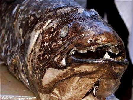 A coelacanth, an ancient fish once thought to have become extinct when it disappeared from fossil records 80 million years ago, is shown in Nairobi, Kenya, in this Novemeber 21, 2001 file photo. Fishermen in Zanzibar have caught a coelacanth, an official said on Sunday. REUTERS/George Mulala