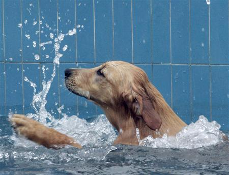 A dog swims in a file photo. If behavior therapists, designer outfits and gourmet food aren't enough to keep pampered pooches happy, owners can now try swimming lessons. The class for puppies is one of the latest ways New Yorkers are pleasing their pets in a city famed for owners indulging their dogs. REUTERS/Claro Cortes IV