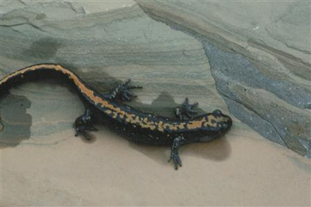 A long-toed salamander is shown in this undated handout photo. Canadian researchers know why the salamander crossed the road, and now they hope to fix things so it won't have to. The federal parks agency plans to install tunnels under a stretch of highway at a cost of about C$40,000 ($38,000) to end years of carnage among the long-toed salamander of Waterton Lakes National Park in southern Alberta. REUTERS/Handout