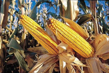 Corn produced by Monsanto is seen in an undated publicity photo. Fresh attacks on Monsanto's French test sites for genetically modified (GMO) maize have not put it off research in France, the U.S. biotech giant said on Wednesday. REUTERS/Monsanto/Handout