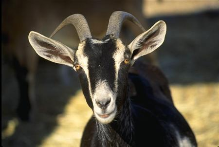 A goat is seen in an undated handout photo from the Department of Agriculture. Officials at Nepal's state-run airline have sacrificed two goats to appease Akash Bhairab, the Hindu sky god, following technical problems with one of its Boeing 757 aircraft, the carrier said Tuesday. REUTERS/USDA/Handout