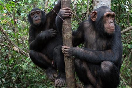This undated handout picture shows two chimpanzees. A unique study published in the journal Science that compared the abilities of human toddlers to chimpanzees and orangutans found that 2-year-old children exhibited social learning skills superior to the apes. European scientists gave a battery of cognitive tests lasting three to five hours separately to 105 2-year-old children, 106 chimpanzees and 32 orangutans over two weeks. The researchers believe their findings provide insight into the evolution of human cognition. REUTERS/Courtesy of MPI EVAN/JGI-USA
