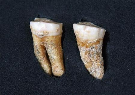 An undated handout picture shows two molar teeth belonging to a Neanderthal from around 63,400 years ago. The teeth, found in Pinilla del Valle in the Madrid region, have grooves formed by the passage of a pointed object, which confirms the use of a small stick for cleaning the mouth, Paleontology Professor Juan Luis Asuarga told reporters, according to Spanish newspaper El Pais. REUTERS/Madrid regional government/Handout