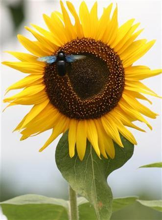 A bumblebee collects nectar from a sunflower in a garden on the outskirts of the northeastern Indian city of Siliguri July 27, 2005. About 16,000 words, including bumblebee, have succumbed to pressures of the Internet age and lost their hyphens in a new edition of the Shorter Oxford English Dictionary. REUTERS/Rupak De Chowdhuri