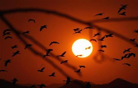 Migratory ducks (Dendrocygna Autumnalis) take flight during sunset at the National Park Palo Verde in Bagaces, Guanacaste, Costa Rica, February 13, 2007. Migrating birds, it seems, can ''see'' the Earth's magnetic field which they use as a compass to guide them around the globe. REUTERS/Juan Carlos Ulate