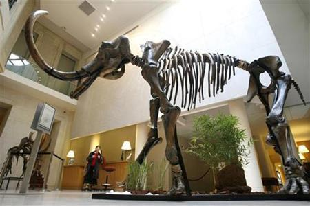 A skeleton of a Siberian mammoth is displayed at Christie's in Paris, March 27, 2007. Scientists who pulled DNA from the hair shafts of 13 Siberian woolly mammoths said on Thursday it may be possible to mine museums for genetic information about ancient and even extinct species. REUTERS/Charles Platiau