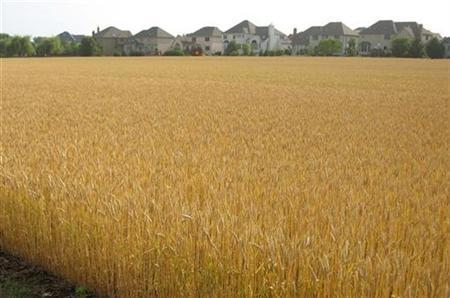 A field of soft red winter wheat about a week away from harvest is pictured in the Chicago suburb of Naperville, Illinois, June 24, 2007. Senators will try to cut the $5.2 billion in subsidies guaranteed annually to U.S. grain, cotton and soybean growers when they debate the new farm bill, Agriculture Committee chairman Tom Harkin said on Tuesday. REUTERS/Peter Bohan