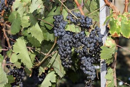 Grapes at a vineyard near Tekirdag in western Turkey August 18, 2007. Lupeol, a compound in fruits like mangoes, grapes and strawberries, appears to be effective in killing and curbing the spread of cancer cells in the head and neck, a study in Hong Kong has found. REUTERS/Fatih Saribas