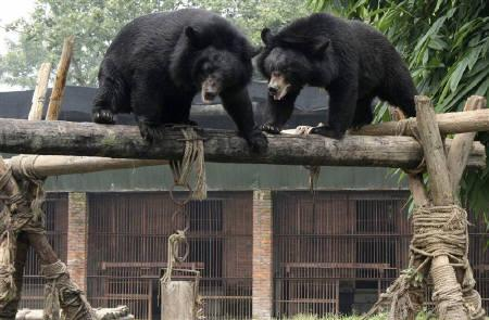 Two endangered Asiatic black, or moon bears play on a log in an enclosure at Animals Asia's rescue centre for ex-farm bears in Sichuan Province in this August 8, 2007 file photo. REUTERS/Gillian Murdoch/Files