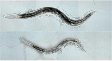 Female worms are shown in this undated University of Utah handout file photo. Altering a gene in the brain of female worms changed their sexual orientation, researchers said on Thursday, making female worms attracted to other females. REUTERS/Jamie White/ University of Utah/Handout