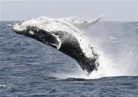 A humpback whale breaches the surface off the southern Japanese island of Okinawa, February 13, 2007. Australian scientists studying humpback whales sounds say they have begun to decode the whale's mysterious communication system, identifying male pick-up lines and motherly warnings. REUTERS/Issei Kato