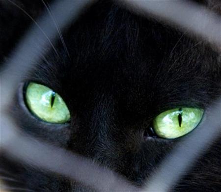 File photo shows a black cat looking through its cage at a pet shop. REUTERS/Ali Jarekji/File